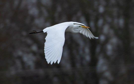 Great Egret, Heron, Egret In Flight, Flying Egret