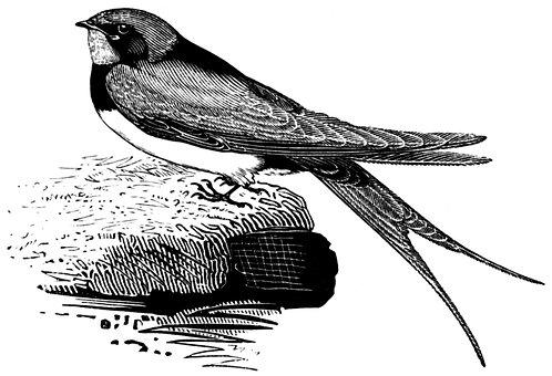 Swallow, Bird, Songbird, Hirundinidae, Engraving