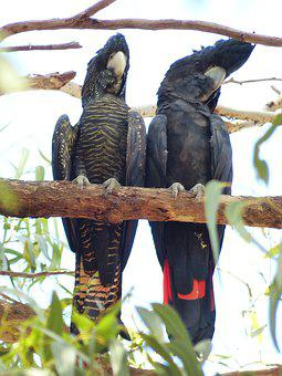 Red-tailed Black Cockatoo, Birds, Pair, Perched