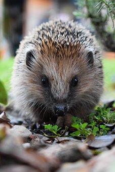 Hedgehog, Nature, Cute, Animal World, Mammal, Spur