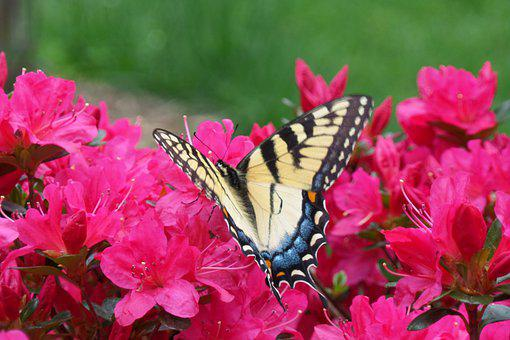 Swallowtail, Butterfly, Spring, Colorful, Flowers