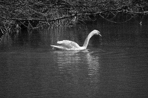 Swan, Bird, Animal, Swim, Black White, Animal World