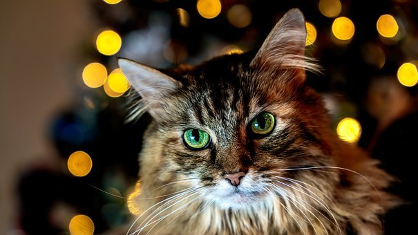 Cat, Head, Pet, Animal, Face, Whiskers, Domestic Cat