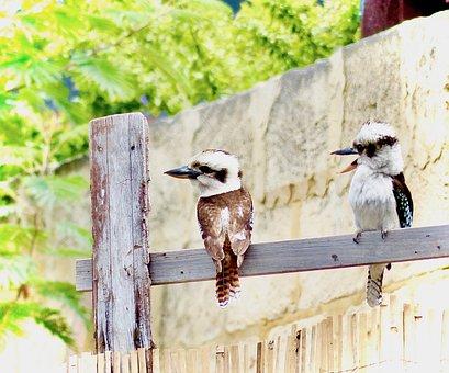 Kookaburra, Australian Birds, Australian Wildlife