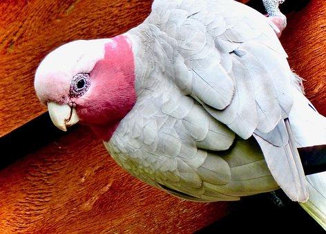 Galah, Pink And Grey Galah, Cockatoo