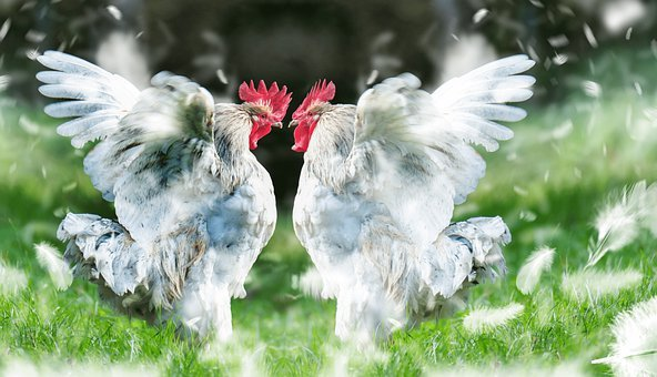 Cock, Roosters, Fight, Domestic Fowl, Poultry, Duel