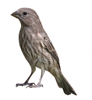 House Finch, Bird, Brown, Tan, Female, Wildlife, Animal