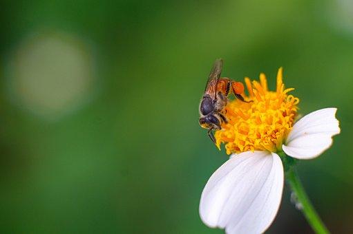 Insect, Bee, Flower, Wild Honey Bee, Dwarf Honey Bee