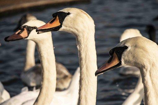 Swans, Birds, Beaks, Feathers, Plumage, Avian