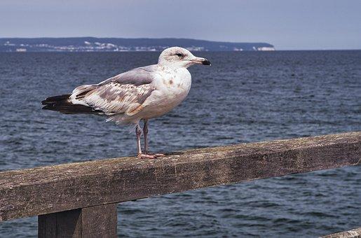 Seagull, Bird, Sea, Baltic Sea, Vacations, Water