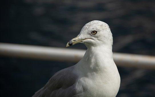 Seagull, Bird, Head, Gull, Seabird, Animal, Wildlife