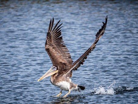 Pelican, Beach, Wildlife, Sea, Nature, Bird, Ocean