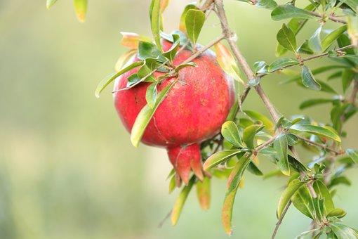 Fruit, Pomegranate, View