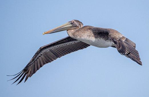 Pelican, Beach, Wildlife, Sea, Bird, Ocean, Water, Beak