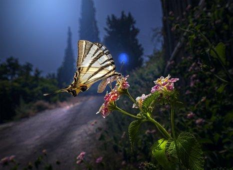 Scarce Swallowtail, Butterfly, Flowers