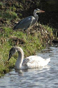 Cygnet, Heron, Water Birds, Ditch, Waterfowl