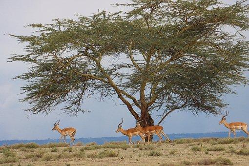 Antelope, Animals, Safari, Impala, Mammals, Wildlife