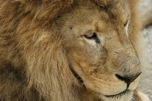 Lion, Predator, Mane, Male, Carnivores, Dangerous