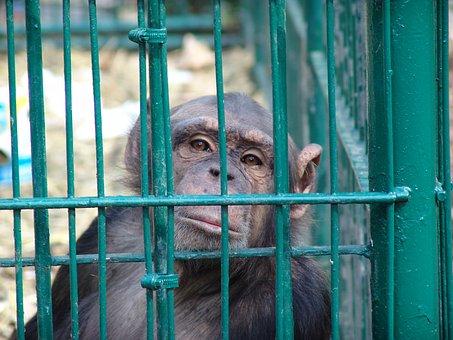 Chimpanzee, Sad, Grid, Cage, Boredom, Mourning, Primate