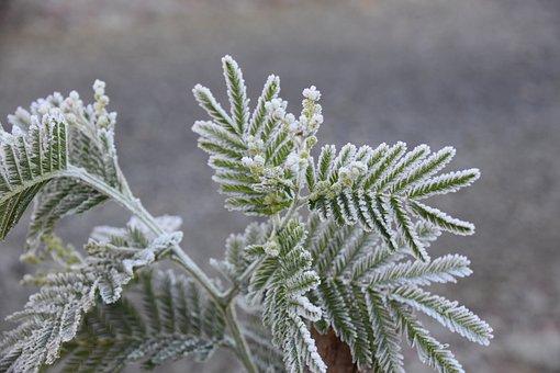 Mimosa, Plant, Nature, Flora, Environment