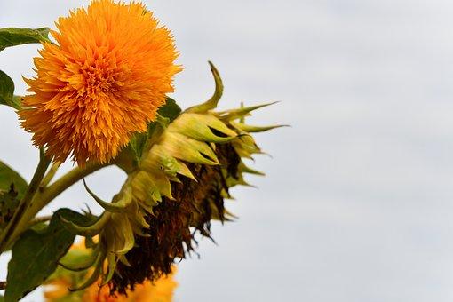 Sunflower, Helianthus Annuus Fuzzy Face, Close-up