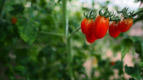 Tomato, Vegetable, Farm, Soil, Food, Fresh, Vegetarian
