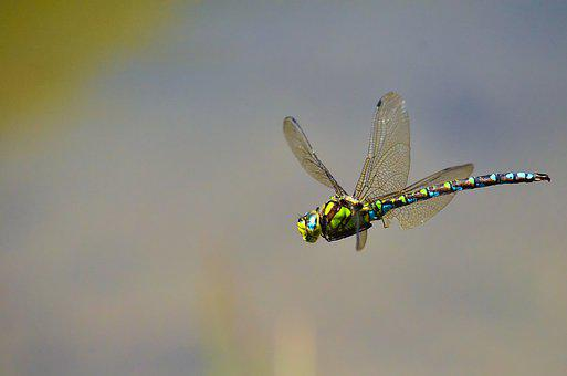 Dragonfly, Wings, Flight, Flying, Dragonfly Wings