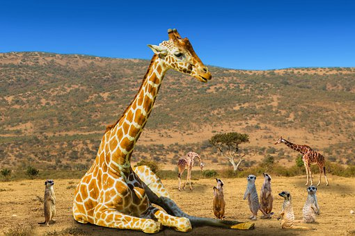 Animal World, Africa, Giraffe, Meerkat, Friends, Trust
