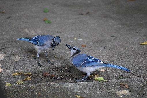 Bluejay, Birds, Jay Bird, Two, Drinking Water