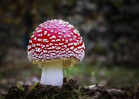 Mushroom, Fly Agaric, Toxic, Wild Mushroom, Spore