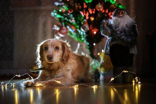 Dog, Christmas Tree, Lights, Christmas Lights, Pet, Fur