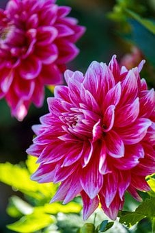 Dahlia, Flower, Blossom, Bloom, Nature, Flora, Pink