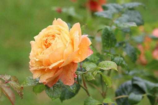 Rose, Flower, Yellow Rose, Petals, Blossom, Bloom