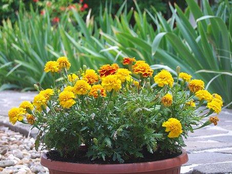 Tagetes, Amaranth, Yellow, Herb, Annual, Garden