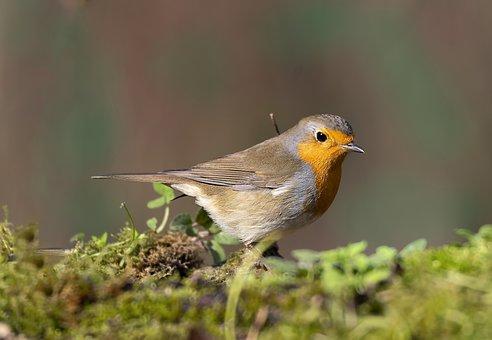 Robin, Bird, Moss, Feathers, Plumage, Ave, Avian