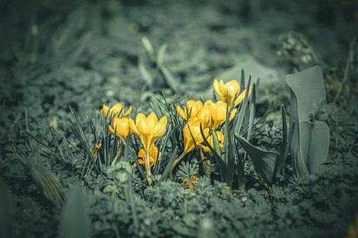 Yellow Crocus, Flowers, Plants, Crocus Flavus, Bloom