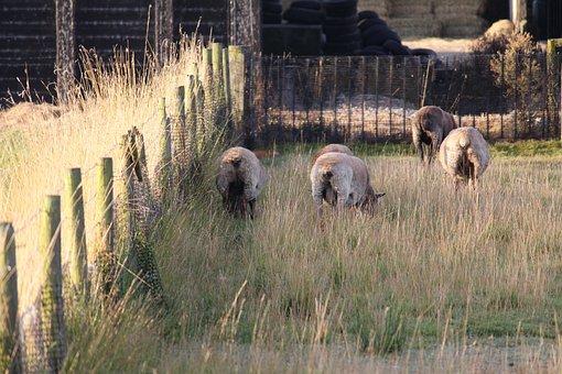 Sheep, Farm, Lamb, Livestock, Pasture, Meadow, Animals