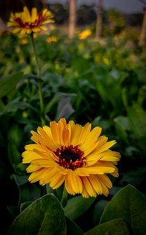 Marigold, Flower, Yellow Flower, Yellow Petals, Bloom