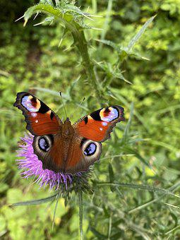 Peacock Butterfly, Butterfly, Thistle, Insect, Animal