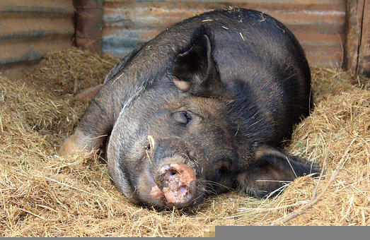 Pig, Animal, Pigsty, Sty, Hay, Boar, Pork, Swine, Hog