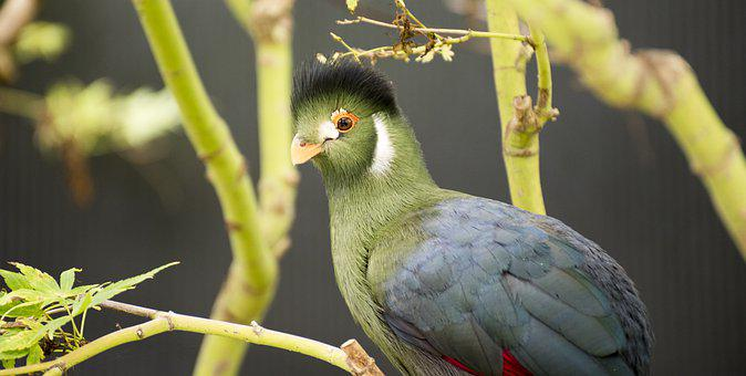 Turaco, Bird, Perched, Animal, Wildlife, Feathers