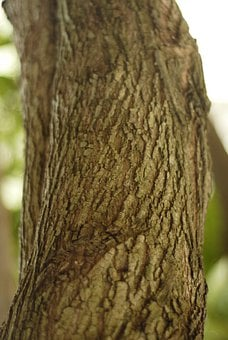 Tree, Log, Bark, Trunk, Guaciama, Guazuma Ulmifolia
