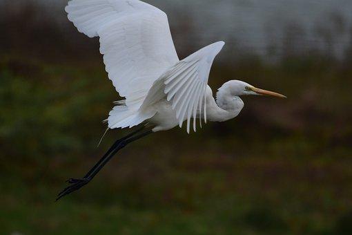 Great Egret, Bird, Egret, Wings, Flying, Elegant, White