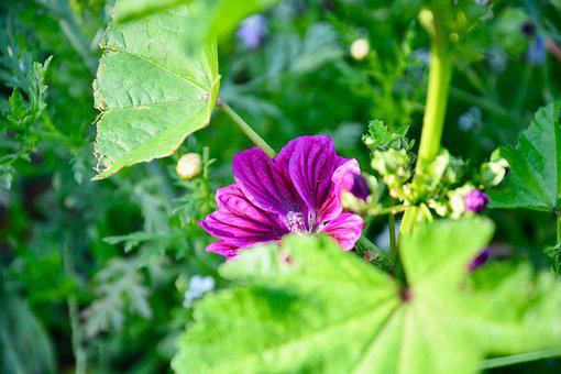 Mallow, Flower, Plant, Leaves, Buds, Bloom, Blossom