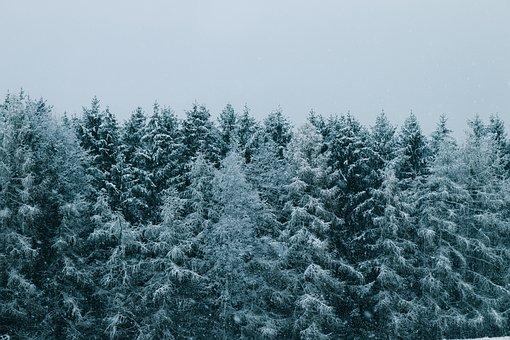 Forest, Snow, Conifers, Coniferous, Conifer Forest