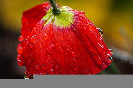 Flower, Petals, Poppy, Water Drops, Dew, Flora, Botany