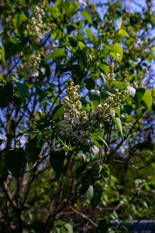 Lilacs, Flowers, Leaves, Foliage, Bloom, Blossom, Flora