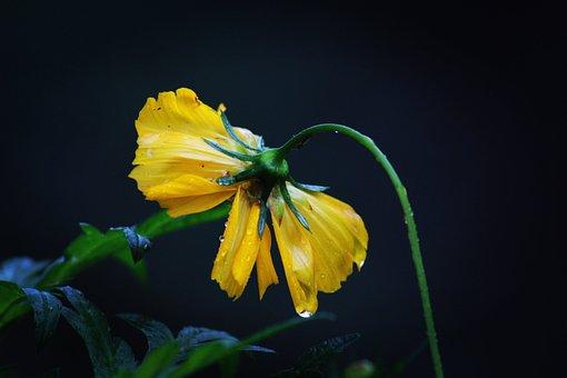 Flower, Yellow Flower, Raindrops, Petals, Yellow Petals