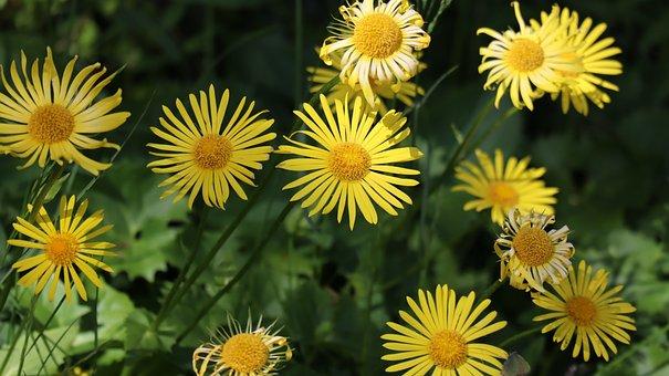 Flowers, Yellow, Daisies, Yellow Flowers