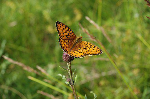 Butterfly, Fritillary, Plant, Insect, Wings, Animal